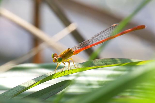 打睡蓮和蜻蜓豆娘也被太陽打
