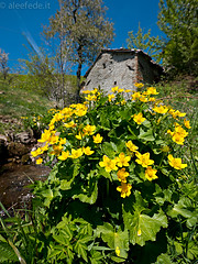 Ranunculus Repens (aleefede) Tags: primavera lumix fiori ranuncolo ranunculusrepens orecchiella fioritura gh2 714mm corfino campaiana paniadicorfino sentieroairone
