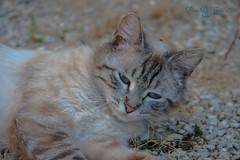 beauty (Donna Da Yettta - @work & study) Tags: blue cats brown white color eye stone cat nose eyes sand kitten katten kat blauw stones ears kittens ear stray ogen wit gravel oren bruin oog steen zand neus oor stenen zwerf catnipaddicts