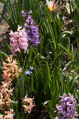 jdy079 bpl Hyacinthus&Pieris&Tulipa epl Blo RbgbYard Elo Bgr1Egr XX20110320a5634.jpg (rachelgreenbelt) Tags: yard tulipa hyacinthus pieris hyacinthusorientalis 3pfpn tulipaall hyacinthusall rlcrec pierisall