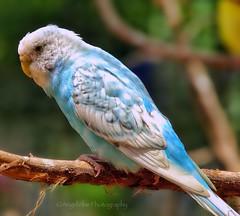 Budgie or Parakeet (AngelVibePhotography) Tags: pentax parakeet budgie animal nature blue bird photography macro birds closeup outdoor bokeh colorful