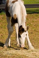 Vanner vly fm Gypsy Vanner Foal2 (nc_sizemore) Tags: ocalafl nikond80 marioncountyfl oakrunphotoclubfieldtrip gypsyvannerhorses vannervalleyfarm