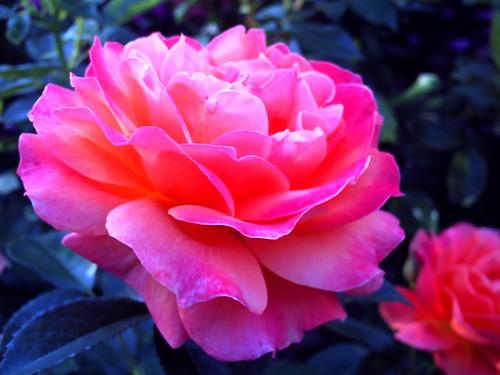 霊山寺「バラ庭園」トイカメラ-05