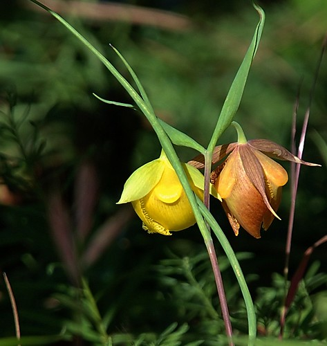 Calochortus pulchellus - Mount Diablo Fairy Lantern by pete@eastbaywilds.com.