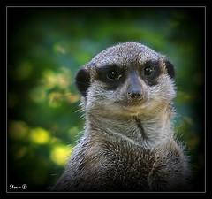 Slender-tailed Meerkat (Suricata Suricatta) (Storm_XL) Tags: storm zoo meerkat sony sigma ii 300 alpha f28 emmen 70200mm dierentuin dierenpark suricatta suricata stokstaart slendertailed sonya300 sigma70200mmf28ii stormxl