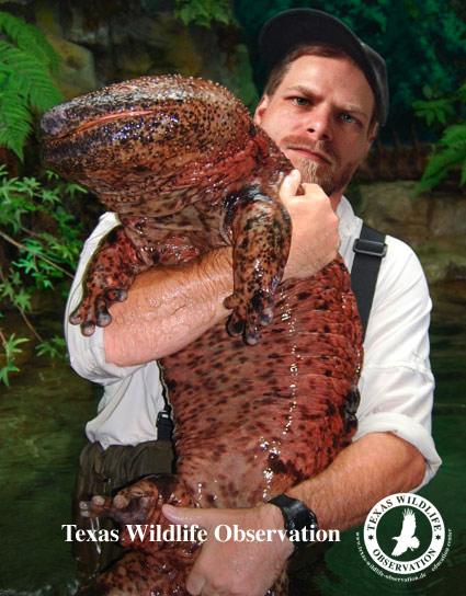 Gigante salamandra japonesa