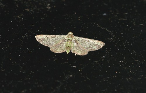 Green Pug (Pasiphila rectangulata)