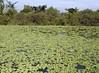 water cabbage (Pistia stratiotes) REPOLLITO DE AGUA ..... Original = (3570 x 2618) (turdusprosopis) Tags: araceae aquaticplants waterlettuce muschelblume candomblé arumfamily wassersalat invasiveplants watercabbage aronstabgewächse plantasacuáticas lechugadeagua 天南星科 floatingplants pistiastratiotes ボタンウキクサ laituedeau repollodeagua サトイモ科 ervadesantaluzia floraargentina bèocái repollitodeagua aráceas aroideae plantasargentinas plantasdeargentina plantasautóctonasargentinas plantasautóctonasdelaargentina floraautóctonaargentina floraautóctonadeargentina plantasnativasargentinas plantasnativasdeargentina plantasnativasdelaargentina floradelaargentina floradeargentina plantasautóctonasdeargentina floraautóctonadelaargentina floranativabrasileira floranativadobrasil floradobrasil argentineindigenousplants argentineflora froschlöffelartige サトイモ目 aronskelkfamilie invasiveaquaticplants ボタンウキクサ属 pistiarozetkowa salotinėpistija vandenssalota водянийсалат ароїдні частухоцвіті họráy aquaticinvasiveplants freefloatingplants repollitodelagua repollodelagua repolhodágua alfacedáguaegolfo vannsalat myrkonglefamilien 大薸 大薸属 grünewasserrose aquarienpflanz águasagrada ojuoró olhossagrado pistieae