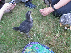 Australorp taking a trip outside (kikashi2008) Tags: chicken australorp pullet