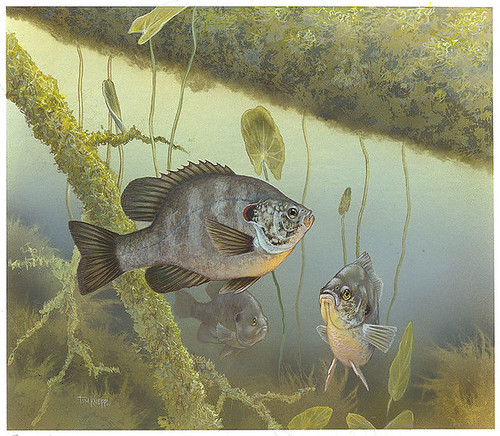 688px-Redear_sunfish_FWS_1