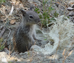 Fauna of Soka - Squirrel standing