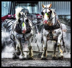 HORSE Power (riclane) Tags: horse power equine drafthorse maxville horsepull maxvillefair