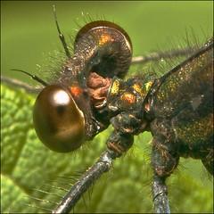 ~ DAMSEL FLeyes ~ (ViaMoi) Tags: dragonfly soe maur padda skordr aplusphoto greenmonday viamoi dragonflyeyes