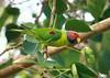Blossom-headed Parakeet (tanmay.shah) Tags: psittacula fbwnewbird fbwadded blossomheadedparakeet psittacularoseata