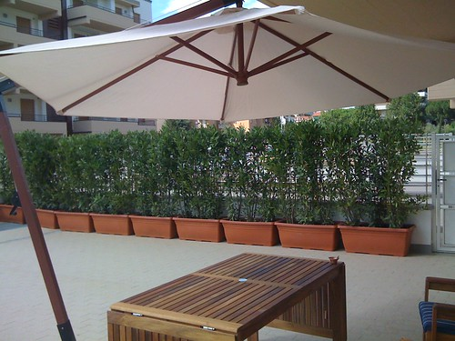 Siepe di Alloro in vaso | Forum di Giardinaggio.it