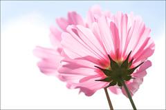 Twins. ('PixelPlacebo') Tags: pink blue summer sky garden twins warm dof shine bokeh violet sunny pale botanic highkey cosmos upwards schmuckkörbchen bipinnatus kosmee schmuckblume fiederblättrige