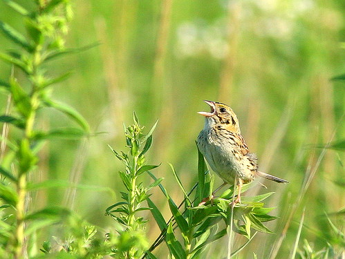 Henslow's Sparrow 3-20090805
