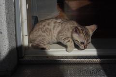 Viti (kat-ri) Tags: kitten viti bengalcat