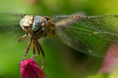 Libellula fulva (paolo-55) Tags: macro nikon natura libellula d300 105mmvrmicronikkor macromarvels excapturemacro