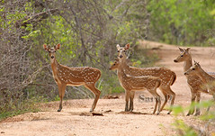 Spotted Deer (Sara-D) Tags: deer spotted spotteddeer