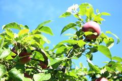 りんごの枝