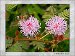 Mimosa and Bee 2 (dvdcheok) Tags: flower macro closeup insect photography flora wildlife bee mimosa pudica dvdcheok