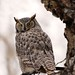 Winter Great Horned Owl
