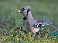 Blue Jay (Tony Tanoury) Tags: blue bird jay michigan bluejay peanut cyanocittacristata supershot bej specanimal abigfave avianexcellence goldstaraward vosplusbellesphotos