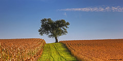Lone Tree October (Todd Ryburn) Tags: blue sky tree green nature field illinois midwest hill farmer coulds lonetree