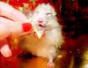 *Nom nom* ~ Piórko (pyza*) Tags: pet white cute animal rodent twins furry funny brothers critter longhair hamster muppet syrian hammie piórko chomik piórkojunior juniorek