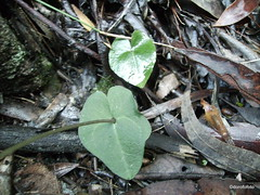 Acianthus fornicatus leaves (dorofofoto) Tags: winter orchid leaves native australian orchidaceae plantae terrestrial 1500 liliopsida magnoliophyta views700 views100 views800 views200 views600 views400 views300 views1000 views900 views1500 views1250 asparagales acianthus taxonomy:class=liliopsida taxonomy:kingdom=plantae taxonomy:family=orchidaceae acianthusfornicatus taxonomy:phylum=magnoliophyta taxonomy:order=asparagales taxonomy:binomial=acianthusfornicatus taxonomy:genus=acianthus taxonomy:species=fornicatus
