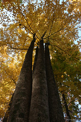 tallyellowtrees (jen selba) Tags: trees orange mountain tree green fall nature yellow virginia woods rocks view hiking va tall oldragmountain