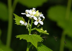 Flyover (Fletty Flicks) Tags: england white green nature leaves spring insects stems flies april wiltshire wildflower garlicmustard hamhillnaturereserve
