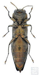 Agrilus sospes (Kohichiroh) Tags: japan insect stack specimen coleoptera buprestidae jewelbeetle woodboringbeetle