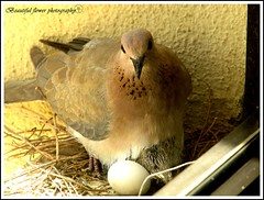 Hatched eggs Only one egg (Beautiful flower*) Tags: wood white bird window last one image dove or small egg chick will be only eggs after tomorrow lunar herb  shortly hatched    feathering