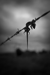death is expected, but not for us (Luis Montemayor) Tags: clouds mexico death wire lizard muerte nubes lagartija alambre tresmarias