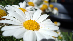 Daisy (leelikesphotography) Tags: life flowers sun flower color sunshine photography pretty sony flowerphotography flowerpicturesnolimits