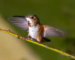 Hummingbird _MG_7712 (zingpix) Tags: usa bird jeff washington all hummingbird © rights humming reserved whatcom ©allrightsreserved zingpix jeffjaquish jaquish
