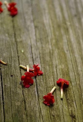 fallen blooms