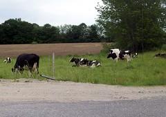 Cows_60709b