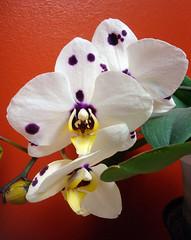 Phalaenopsis Marbella