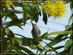 Brown Honeyeater feeding on 'Golden Penda' (Tatters:)) Tags: bird australia qld honeyeater floweringtree myrtaceae australiannative goldenpenda xanthostemonchrysanthus xanthostemon lichmeraindistincta brownhoneyeater