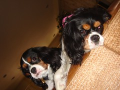 Co-founders (Bossi Pynk) Tags: king charles spaniel cavalier pynk bossi