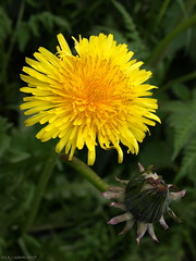 Just Dandy, again (ExeDave) Tags: uk england plant flower nature yellow flora wildlife derbyshire peakdistrict may dandelion gb daisy wildflower 2009 asteraceae taraxacum taraxacumofficinale bamford ruderal commondandelion taraxacumofficinaleagg taraxacumsp taraxacumagg moreorlessastaken