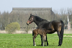 horse with filly (G-D-F) Tags: horse nature dutch animal landscape farm young colt landschap paard filly farmlife foal veulen
