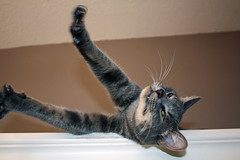 Stretch (marydenise6) Tags: cat tooth relax happy grey climb jump kitten tabby gray kitty stretch gato diningroom buffet hutch shiloh fang