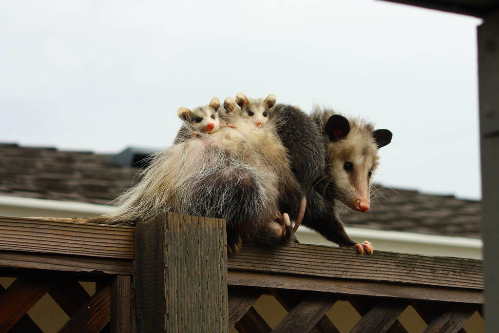 The World S Best Photos Of Ears And Possum Flickr Hive Mind