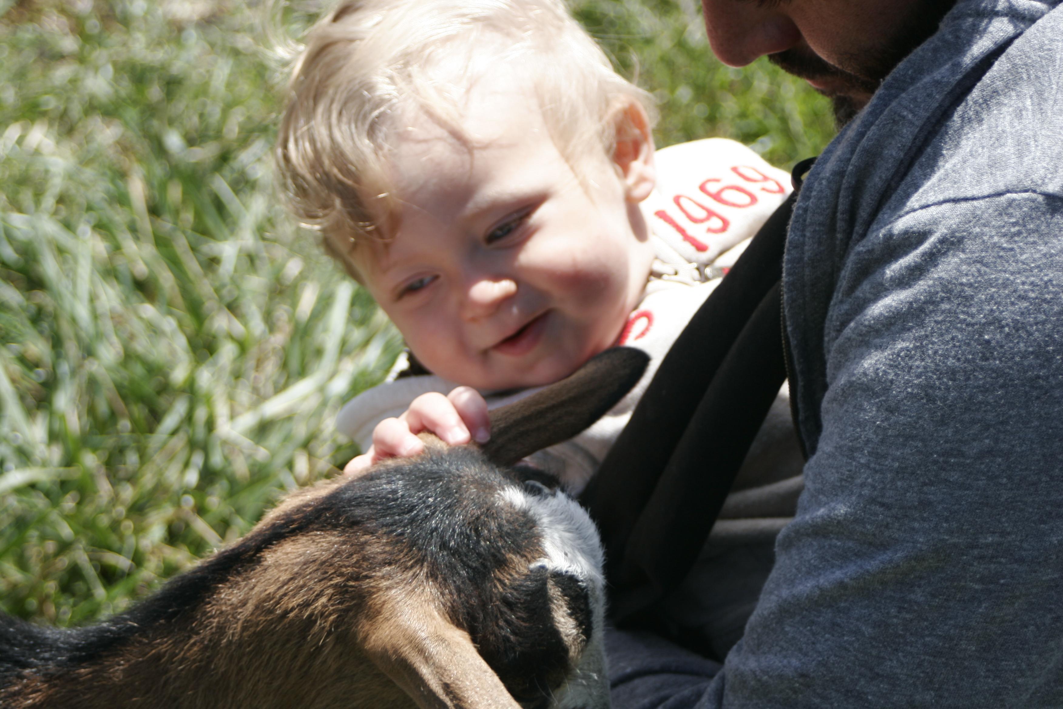 Pulling off goat ears