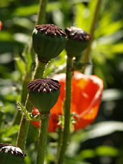 Papaver somniferum (gripspix (OFF)) Tags: macro poppy mohn papaversomniferum seedvessel