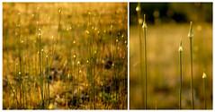 Bokeh diptych (Angelrays) Tags: light sunset backlight spring bokeh backlit backlighting springlight
